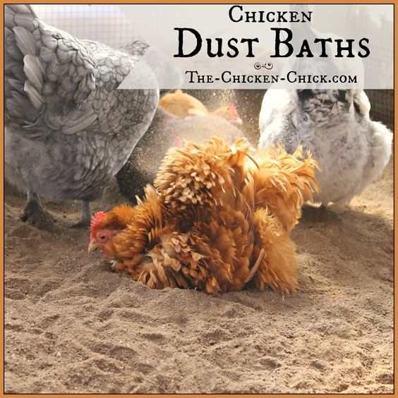 Chicken Dust Bath: The Ultimate Spa Treatment