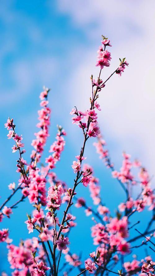 Handy Hintergrund Spring Wallpaper Cherry Blossom Wallpaper Iphone Wallpaper Pinterest Spring wallpaper for iphone