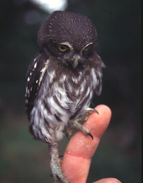 Awww...baby owl!