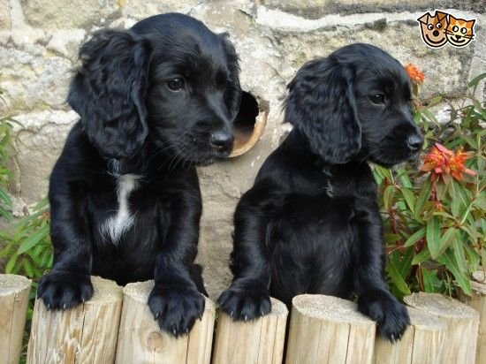 Working Cocker Pups For Sale Working Cocker Black Cocker Spaniel Puppies Black Cocker Spaniel