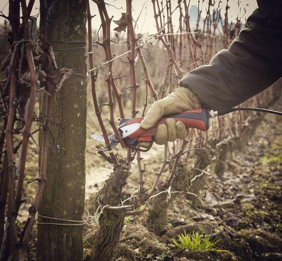 L'hiver, et l'art de la Taille.  L'objectif ? Limiter le potentiel quantitatif de la vigne et favoriser une maturité maximale.  Winter, and the art of pruning. Our goal ? To limit yields and encourage maximum ripeness.