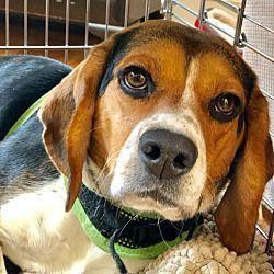 Waldorf Maryland Beagle Meet Sammy Hughes A For Adoption Www