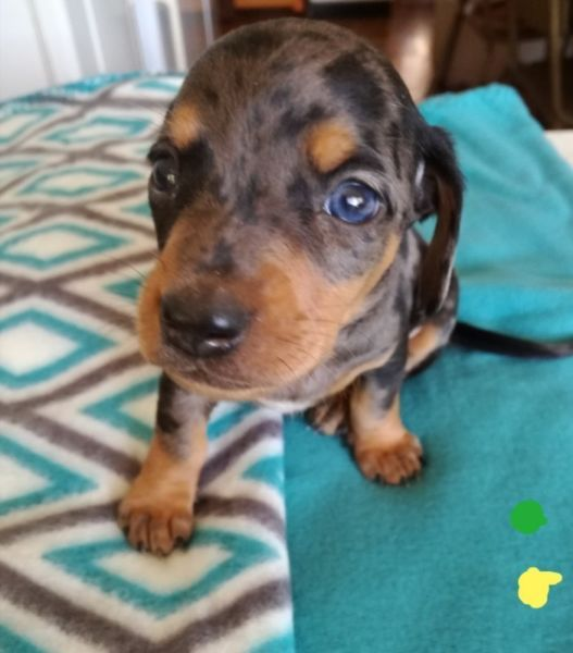 Miniature Dachshund Dapple Puppy S Worshondjies For Sale Born