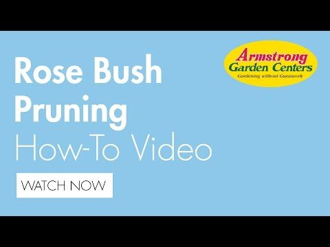 Pruning Roses Is Easy They Re Such Tough Plants That You Can T Really Hurt Them T S Pretty Hard To Over Prune A Rose S Pruning Roses Prune Trim Rose Bushes