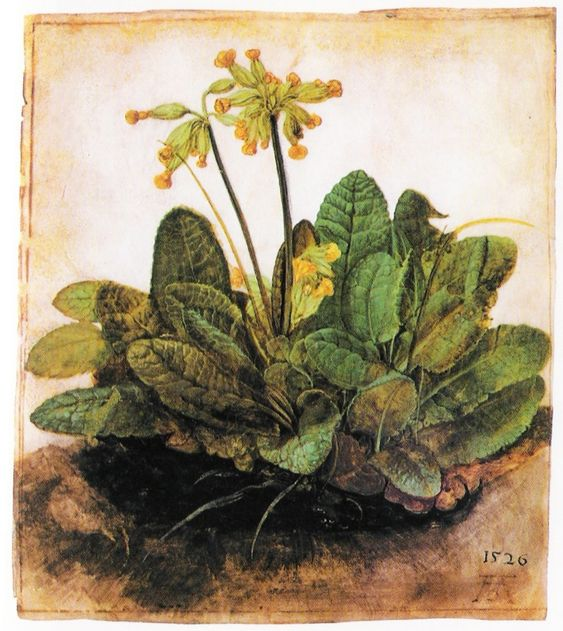 Albrecht Durer: Cowslip - gouache on vellum National Gallery of Art Washington DC