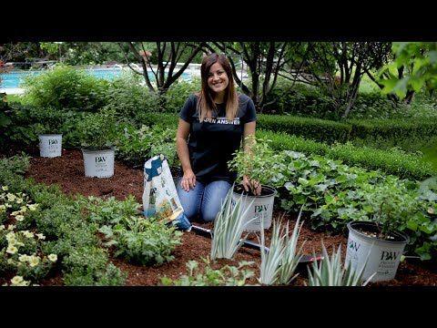 Planting A Hedge Of Bobo Hydrangeas X2f X2f Garden Answer
