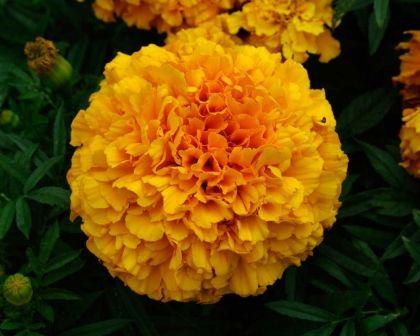 Tagetes erecta - marigold