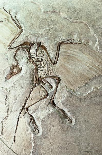 Archaeopteryx Berlin specimen is considered the most famous fossil in the world. It is about 150 Ma & was discovered in limestone deposits in Eichstaett, Bavaria. Archaeopteryx has bird flight feathers, but also has reptile features such as a tail bone & claws on the wing bones