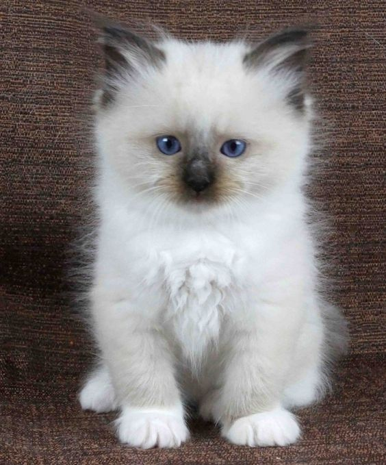 chocolate ragdoll kittens - Google Search