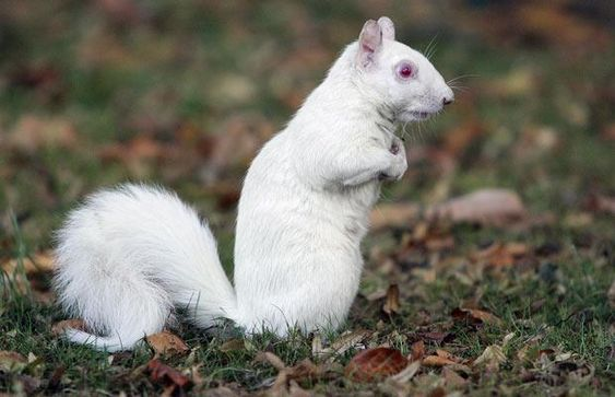 Visitors to South Croydon Recreation Park in Croydon have been lucky to get a glimpse of a rare albino squirrel