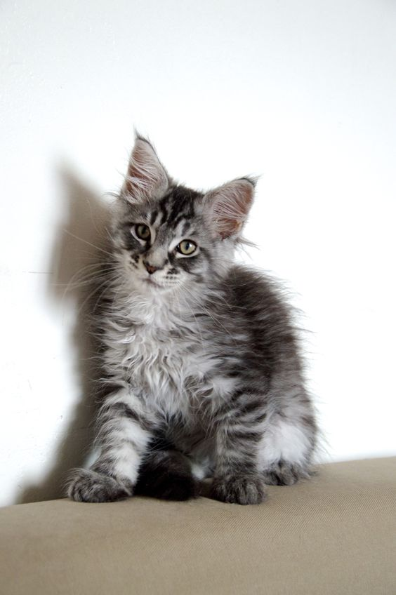 Iowa, Maine coon and Maine on Pinterest