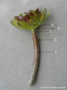 B – Cutting here is optimal for creating a new plant from the top part and forcing new shoots to grow off the stem. This method works best if a few leaves are left on the stem, allowing it to recover more efficiently, producing the most new stems.