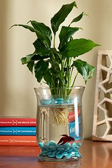 Betta betta fish and fish on pinterest for Plant with fish in vase