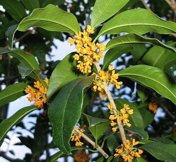 Late summer flower and olives on pinterest for Osmanthus fragrans aurantiacus
