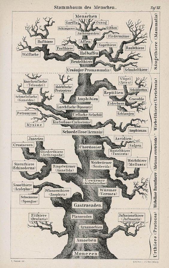Árbol filogenético del hombre. Lámina de la obra de Ernst Haeckel, Anthropogenie, Leipzig, Wilhelm Engelmann, 1891. Ejemplar de Peregrín Casanova, con su ex libris