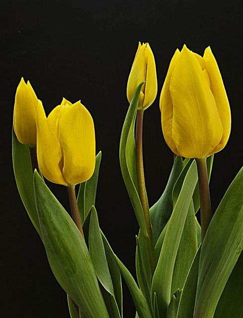 Yellow Tulips | Flowers 2 | Pinterest | Tulip, Yellow ...