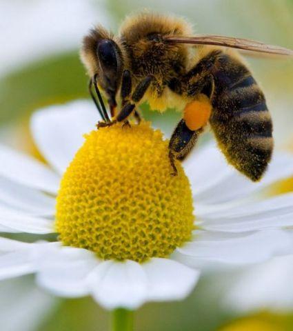 L'abeille noire d'Ouessant réimplantée partout en Europe | Finistère | Bretagne | #myfinistere