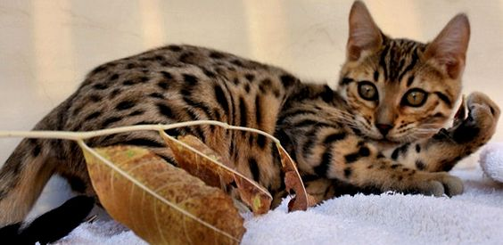 Baby Bengal Tiger Cat-So they appearance might looks wild but their heart are truly domestic