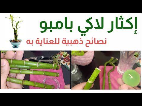 إكثار نبات البامبو و نصائح ذهبية للعناية به Lucky Bamboo عصا موسى نبات الخيزران Youtube Lucky Bamboo Youtube Development