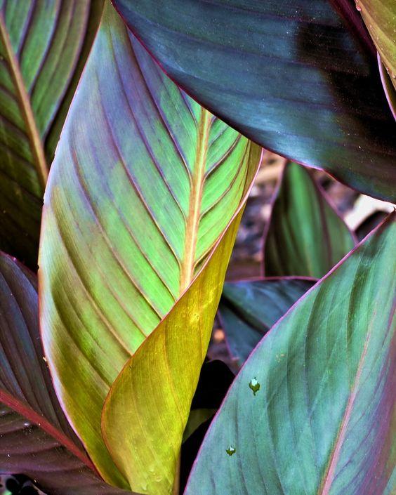 canna leaves.
