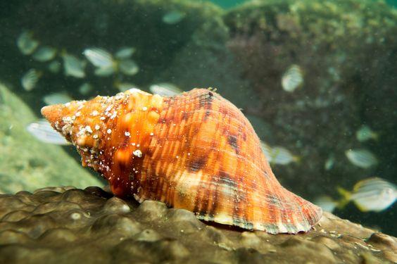 Red Triton Charonia Lampas Marineexplorer Sea Snail Marine Marine Life