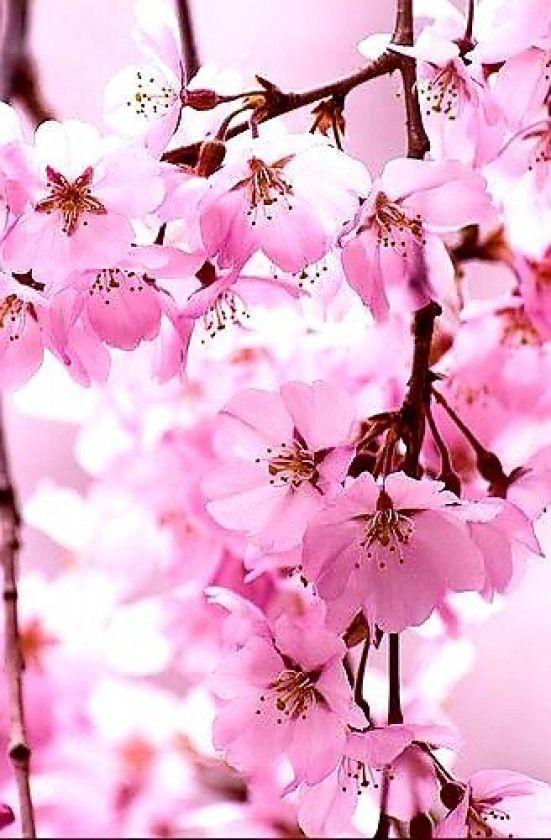 Japanesegarden Japanese Garden Pink Garden Japanese Japanesegarden Pink Bahar Cicek Doga