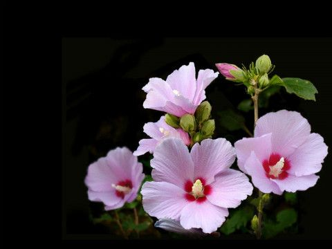 Common Flowers In Korea Ehow Com Flower Prints Art Flowers Hibiscus Flowers