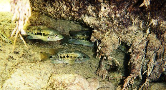 """Картинки по запросу Herichthys sp. """"White labridens"""""""