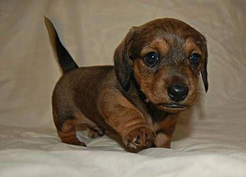 More About The Friendly Daschund Pup Personality Daschundsofig
