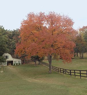 The red oak tree by the old barn at Terian Farms Event Center is at it's peak color in October.