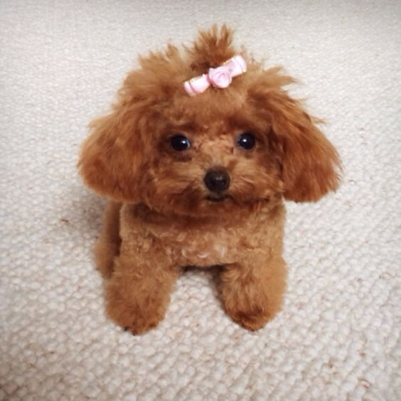 Red Toy Poodle Full Grown poodle love | Hello! I...
