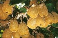 Fruits et verger - Cultiver les kiwis (actinidias)