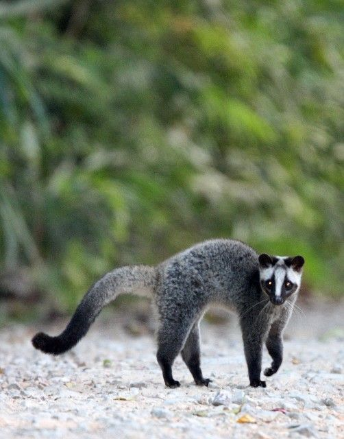 The Masked Palm Civet is a nocturnal solitary animals native to the Indian Subcontinent and Southeast Asia. This one in the photo is doing an aggression display and upon feeling further threatened it would spray secretions from its anal glands similarly to a skunk.