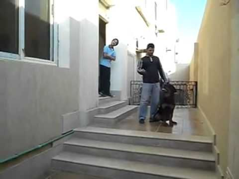 تدريب الكلاب على العض - اشرس كلب شفته بحياتي - Dog Training german rottweiler - http://www.doggietalent.com/2014/11/%d8%aa%d8%af%d8%b1%d9%8a%d8%a8-%d8%a7%d9%84%d9%83%d9%84%d8%a7%d8%a8-%d8%b9%d9%84%d9%89-%d8%a7%d9%84%d8%b9%d8%b6-%d8%a7%d8%b4%d8%b1%d8%b3-%d9%83%d9%84%d8%a8-%d8%b4%d9%81%d8%aa%d9%87-%d8%a8%d8%ad/