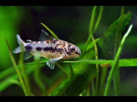 Pygmy Cory Catfish Salt And Pepper Or Corydoras Habrosus Kirysek Malutki Youtube Cory Catfish Tropical Freshwater Fish Aquarium Fish Tank