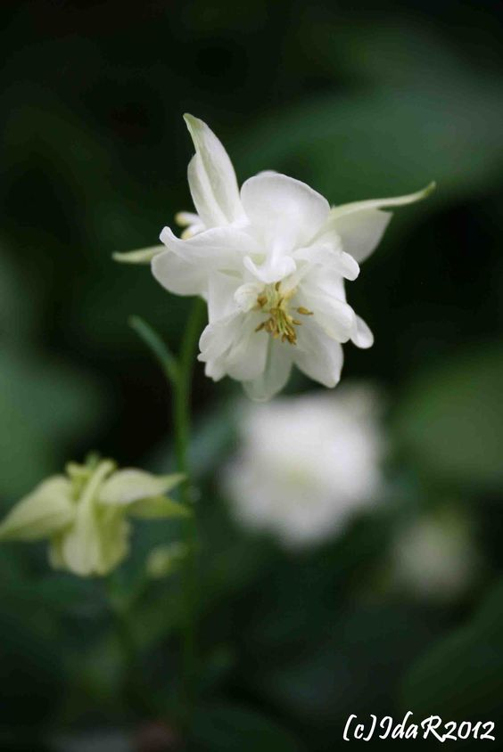 Aquilegia High Tower White   Such A Lovely Old Perennial!