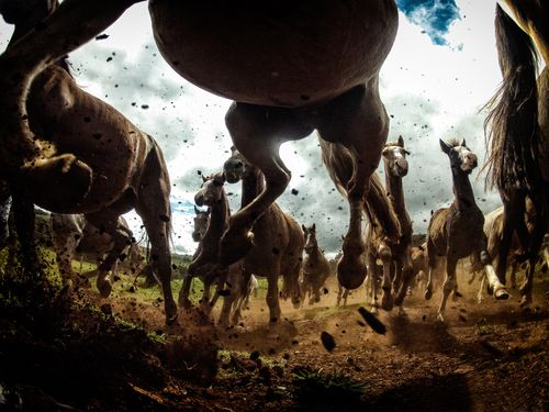 Cavalo crioulo. Paraná
