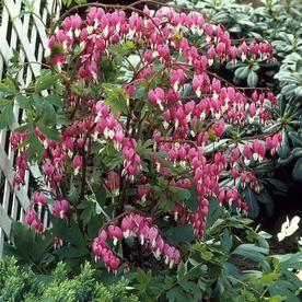 5 0 Bleeding Heart Bulbs N A 83527 Flower Landscape Perennials Flowers