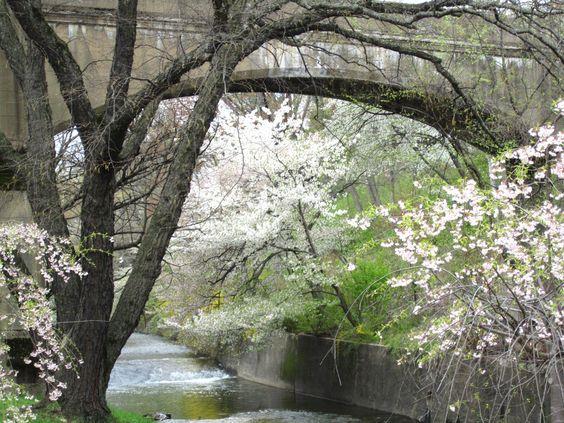 Tree Over Brook By Bridge - Cherry Blossom Park photo by Virginia Varela