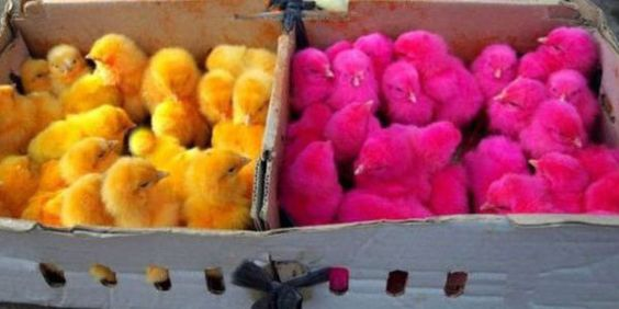 Care2 Petition: STOP putting dyed chicks in plastic bags to be sold as TOYS on Thai island Koh Lanta! << Please sign!