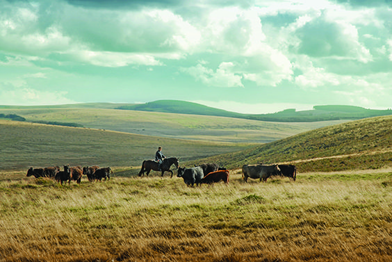 Cattle mustering in the UK with Liberty Trails in Dartmoor.