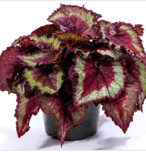 100pcs Bag Linda Begonia Rex Begonia Rex Sementes Bonsai Sementes Flor Flores Vaso Shadow King Bonsai Flower Begonia