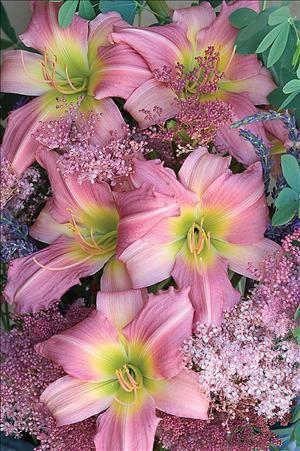 """Hemerocallis 'Bama Music': The 5"""" flowers are a pink bitone #daylily cultivar…:"""