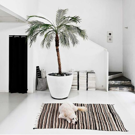 Indoor Potted Palm in white pot
