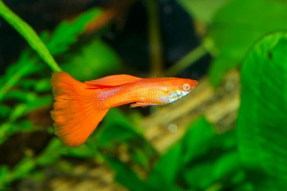 Can Guppies Get Pregnant Without A Male Waterworld Craze Guppy Pet Fish Image Of Fish