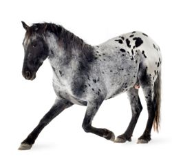 Google Image Result for http://www.horsechannel.com/images/tab-images/horse-news/appy.jpg