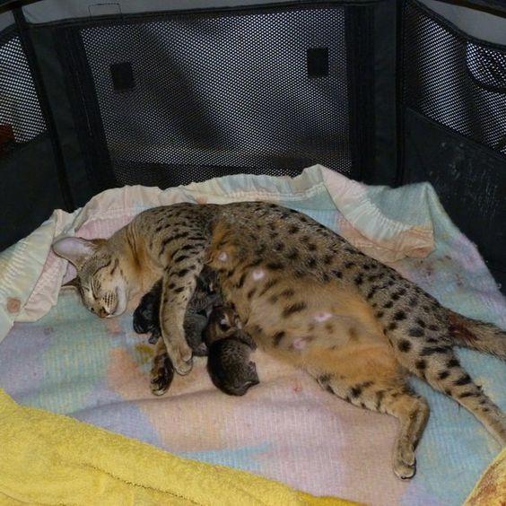 Photo chat de race Savannah, LUNA et ses bébés - Eleveurs-Online.com