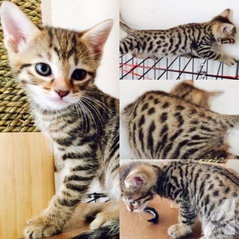 Kittens For Sale El Paso Tx Kitten For Sale
