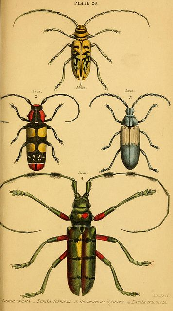 .: Beetles Butterflies Insects, Natural History, Bugsbeetles Butterflies, Insects Bugs, Beetles Plate, Horned Beetles, Scientific Illustrations, Plate Beetles, Beetles Art