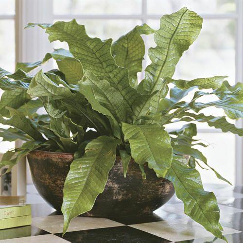 Five Great Indoor Ferns Five Great Indoor Ferns